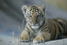 Rescued Tiger cub at The Wild Animal Sanctuary